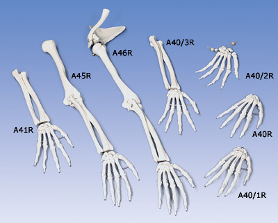 anatomic models, Skeleton