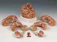 Brain with Arteries, 9-part