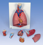Lung Model with larynx, 7-part